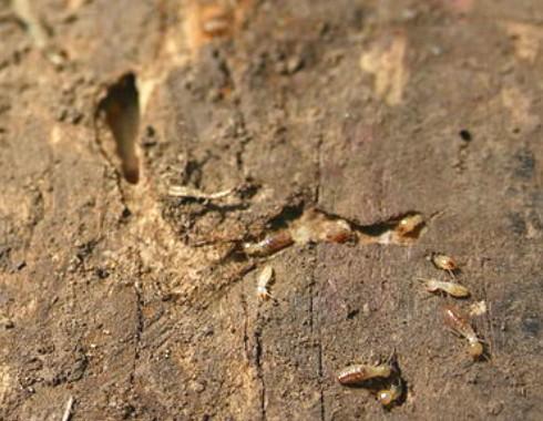 termite company in singapore