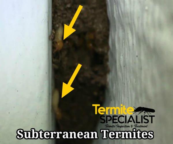 Subterranean Termites In Singapore, Subterranean Termites