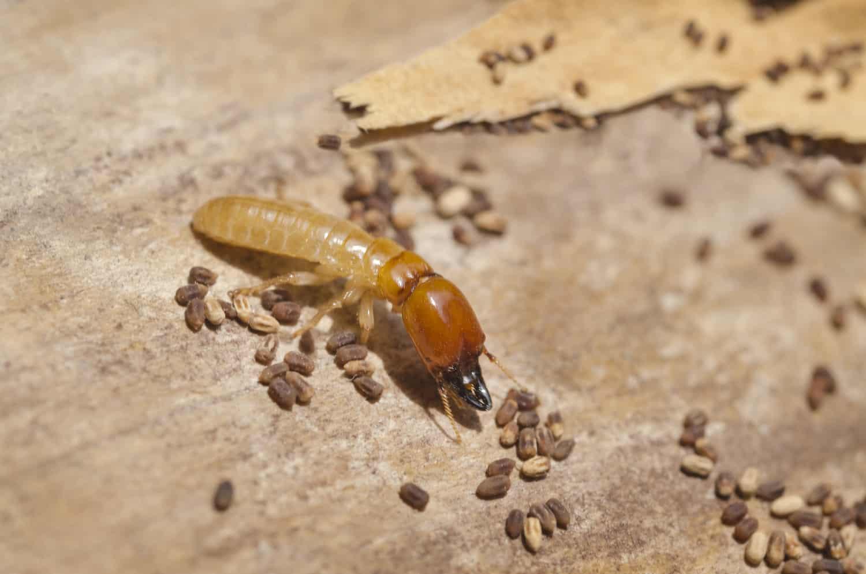 drywood termites in singapore