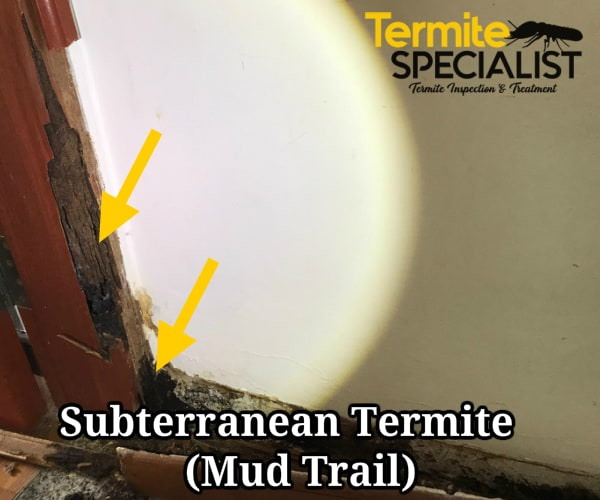termites mud trails