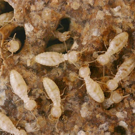 White ant treatment
