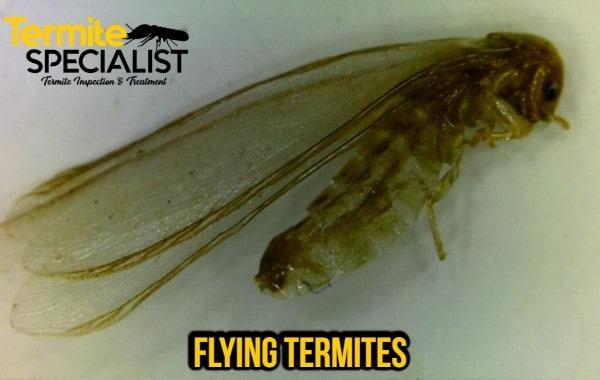 flying termites singapore, Flying Termites Singapore